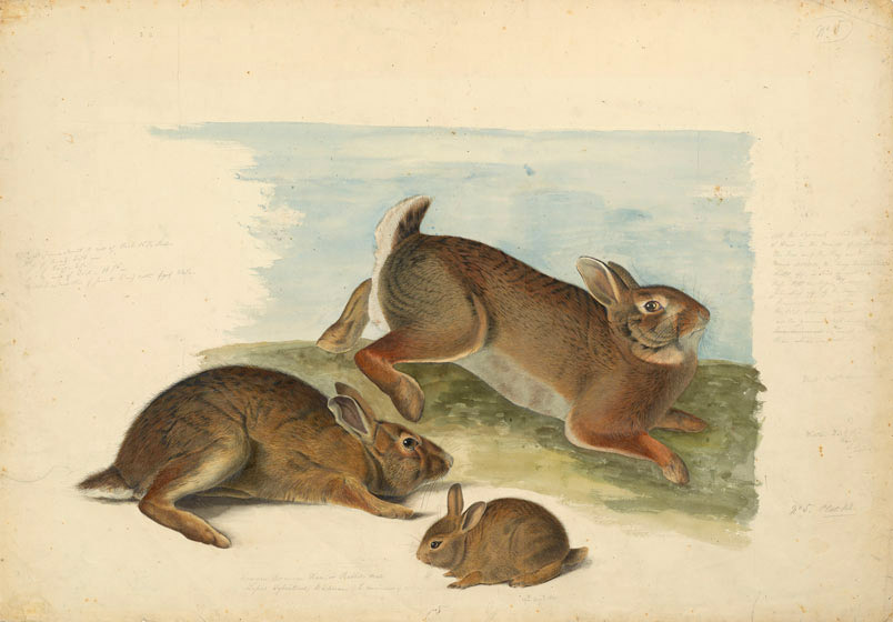 Audubon_Gray-Rabbit