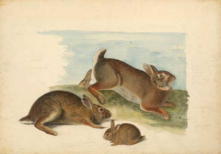 Audubon_Gray-Rabbit